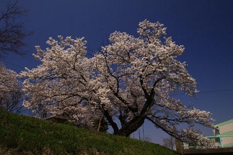 凛と咲く H23.4.15 高田西城