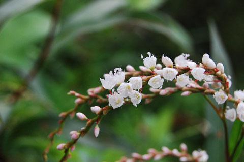 サクラタデ タデの中でも花の雰囲気が桜を思わせる愛しい雑草ちゃん