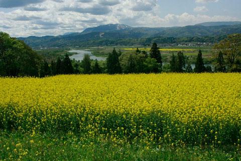 黄色いジュウタン 毎年多くの人を楽しませてくれる