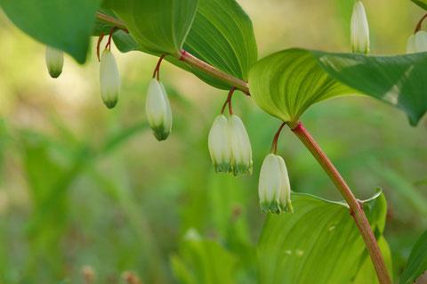 アマドコロ スノードロップの花を愛で 姿ををながめ 若芽はお侵し 根は天ぷら でも有毒の似たものもあるとか クワバラクワバラ 撮影地大潟水と森公園
