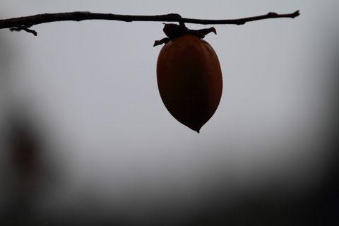 残柿 撮影場所:吉川区 落柿になるか、はたまた何鳥に食べられるか