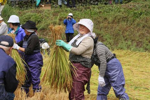 収穫 初めて参加した稲刈り行事 慣れていない様だけど楽しそう