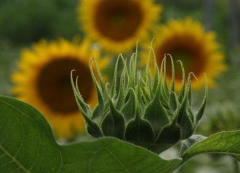 向日葵 「つぼみ」大輪開花の強い決意
