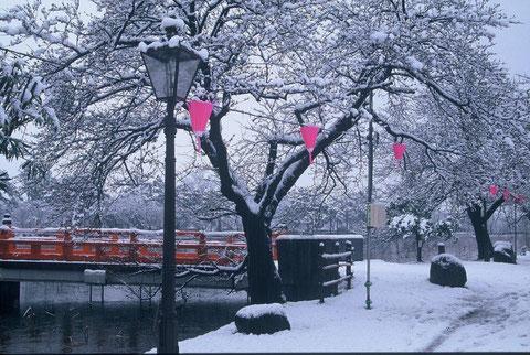 観桜会  突然の雪で ビックリである