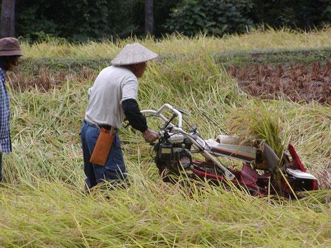 牧区での刈り取り作業です