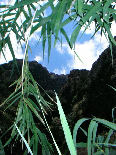 Blick durch Bambus-Pflanzen, die Masca - Schlucht nach oben. Ein einzigartige schöne Naturlandschaft die man gesehen haben muss.