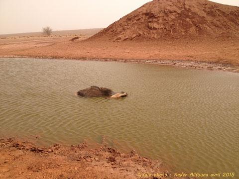 Cadavre de dromadaire dans la mare du forage de Joumoumourout