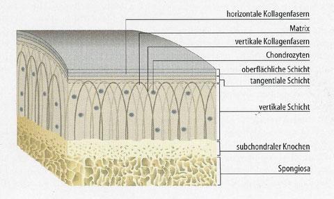 Aufbau des hyalinen Knorpels