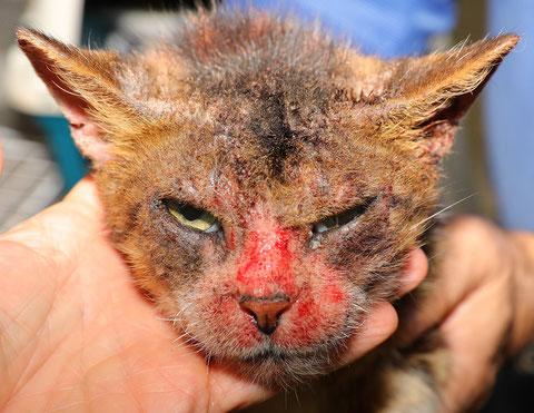 Maladie de peau chez un chat