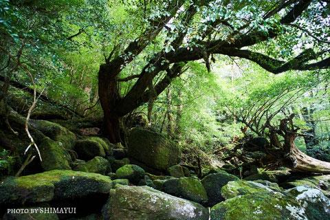 ヤクスギランド,苔の世界,屋久島,ガイドツアー,半日過ごし方,屋久杉,トレッキング