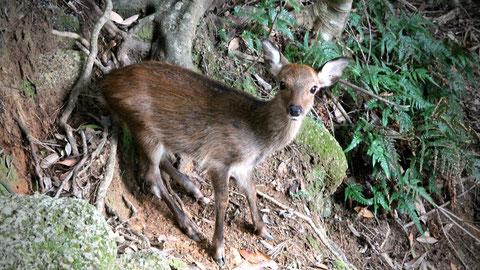 目の前に現れる、小鹿,西部林道ツアーにて。