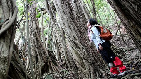 ガジュマルの巨木を見上げる,西部林道の半山地区にて。