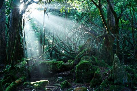 屋久島苔の森の光芒(宮之浦岳縦走ガイドツアーにて)
