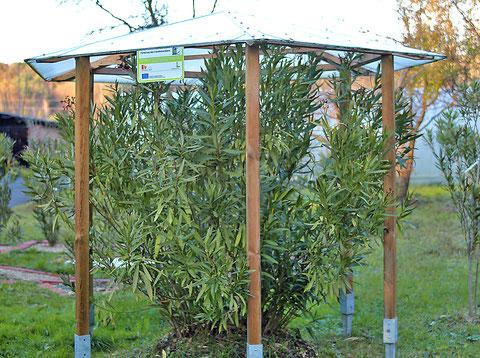 Oleander HAUS,  Nerium Oleander, Oleander frei ausgesetzt, im Freiland überwintern
