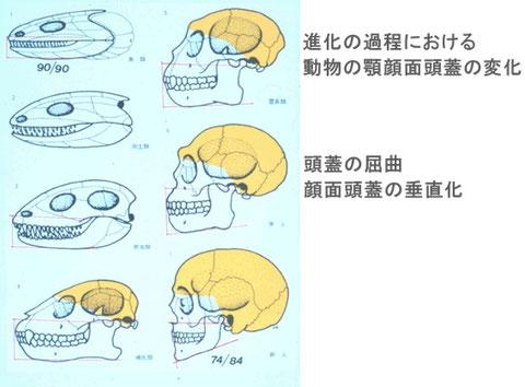 ヒトの頭蓋の形の変化図
