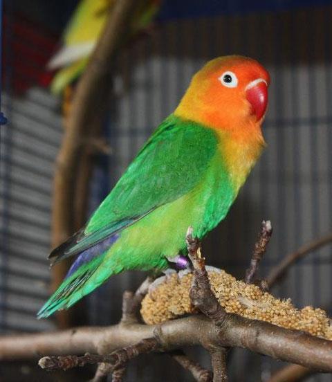 Agapornis Fischeri Lovebirds