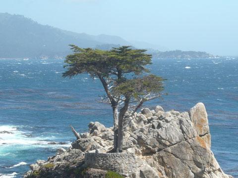 die berühmteste Zypresse der Welt: The Lone Cypress