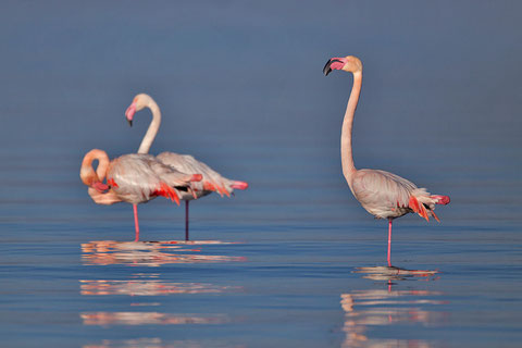 Flamant rose, Phoenicopterus ruber