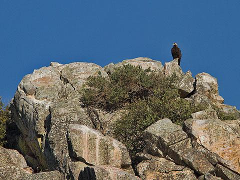 Aigle ibérique, Aquila adalberti