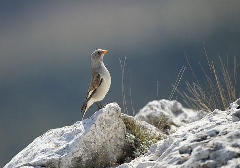 Niverolle alpine, Montifringilla nivalis