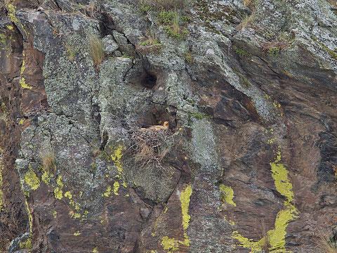 Vautour percnoptère, Neophron percnopterus