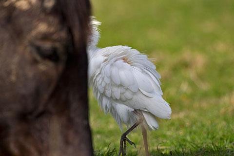 Héron garde-bœufs (Bubulcus ibis), sur regard équin (et que deux)