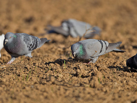 Pigeon biset, Columba livia