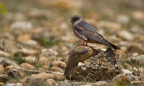 Monsieur Faucon kobez, Falco vespertinus, avant l'âge adulte...