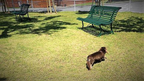 芝生で遊ぶ社長の愛犬ハナコ