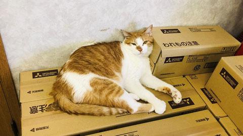 段ボール箱を枕とベッドにする弊猫 タマスケ