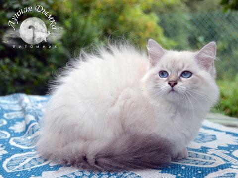 невская маскарадная кошка, питомник Лунная Дымка