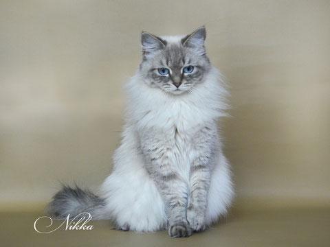 Никка, невская маскарадная кошка