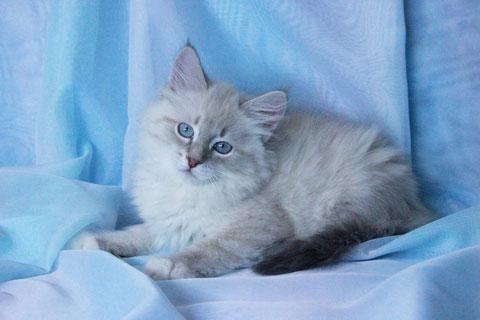 котята невские маскарадные, питомник лунная дымка