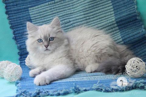 невские маскарадные котята, питомник лунная дымка