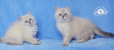 невские маскарадные котята из питомника Лунная Дымка