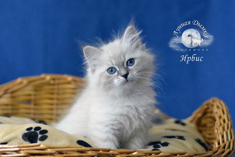 котята невские маскарадные, питомник