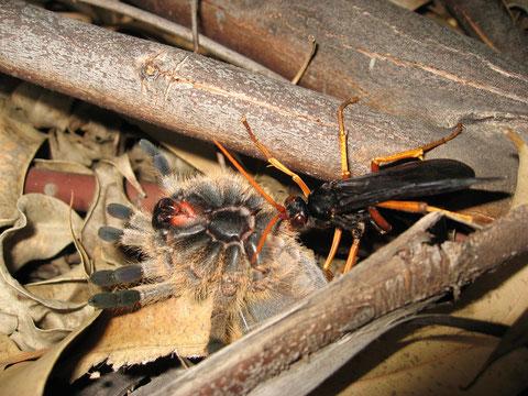 Una cacciatrice di caccia grossa. La baboon spider hunting wasp paralizza il grosso ragno, nel cui corpo vivo depositerà le uova. Il ragno servirà da dispensa per la prole.
