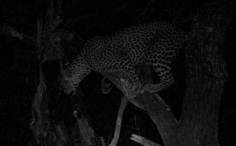 leopardo su Kiaat (Ingwe)
