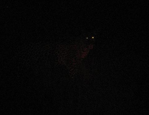 quando il leopardo cerca di entrare nel tuo blind.....