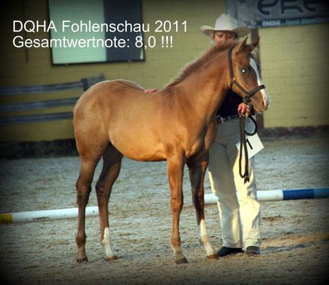 Cody auf der DQHA Fohlenschau
