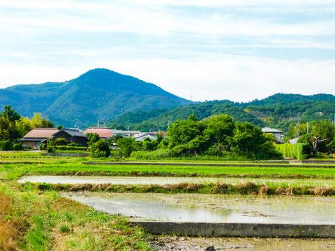 徳島県鳴門市にある弊社が木村式自然栽培にてお米を育てている、稲田。