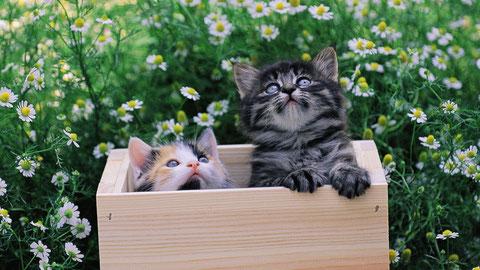 Широкоформатные обои Котята в ящике, Котята в деревянном ящике среди ромашек.