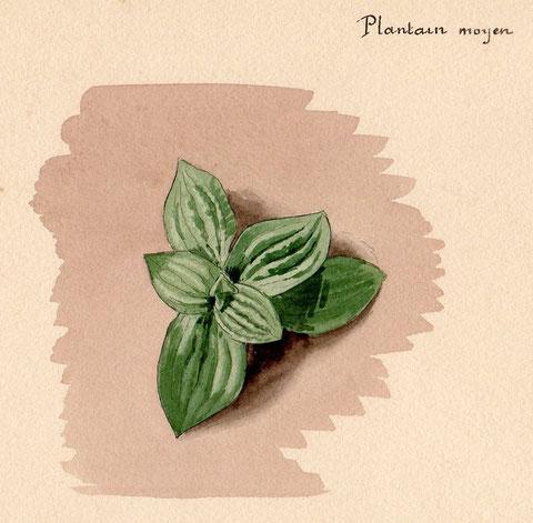 Plantain moyen