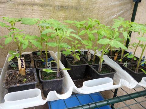 plants de tomates anciennes