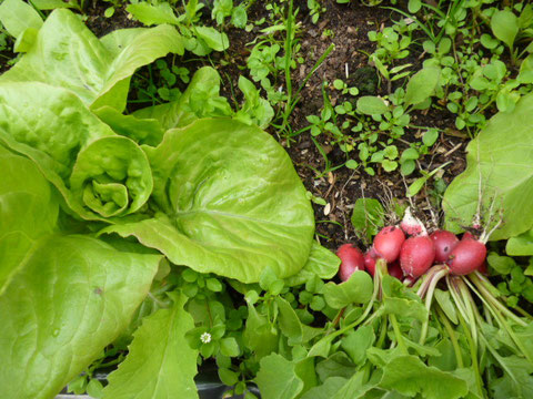 radis & salade
