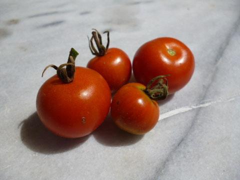 premières tomates cerise