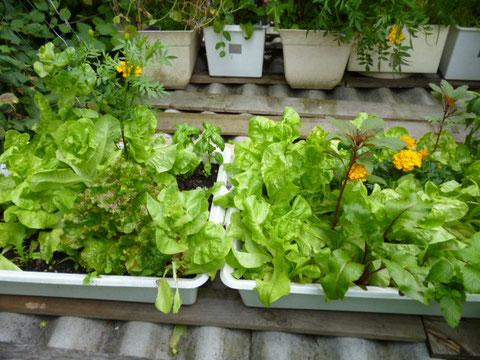 salades , basilic , oeillet d'inde