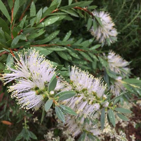 白ブラシ♡ 赤ブラシから一ヵ月遅れの開花、、春はほぼ同時期だったのになんでやろ?  まあ咲けばいいんですけどねw 深いぜ植物!