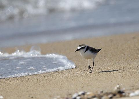 県鳥 シロチドリ