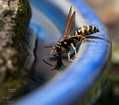 Wespe beim Wassertrinken